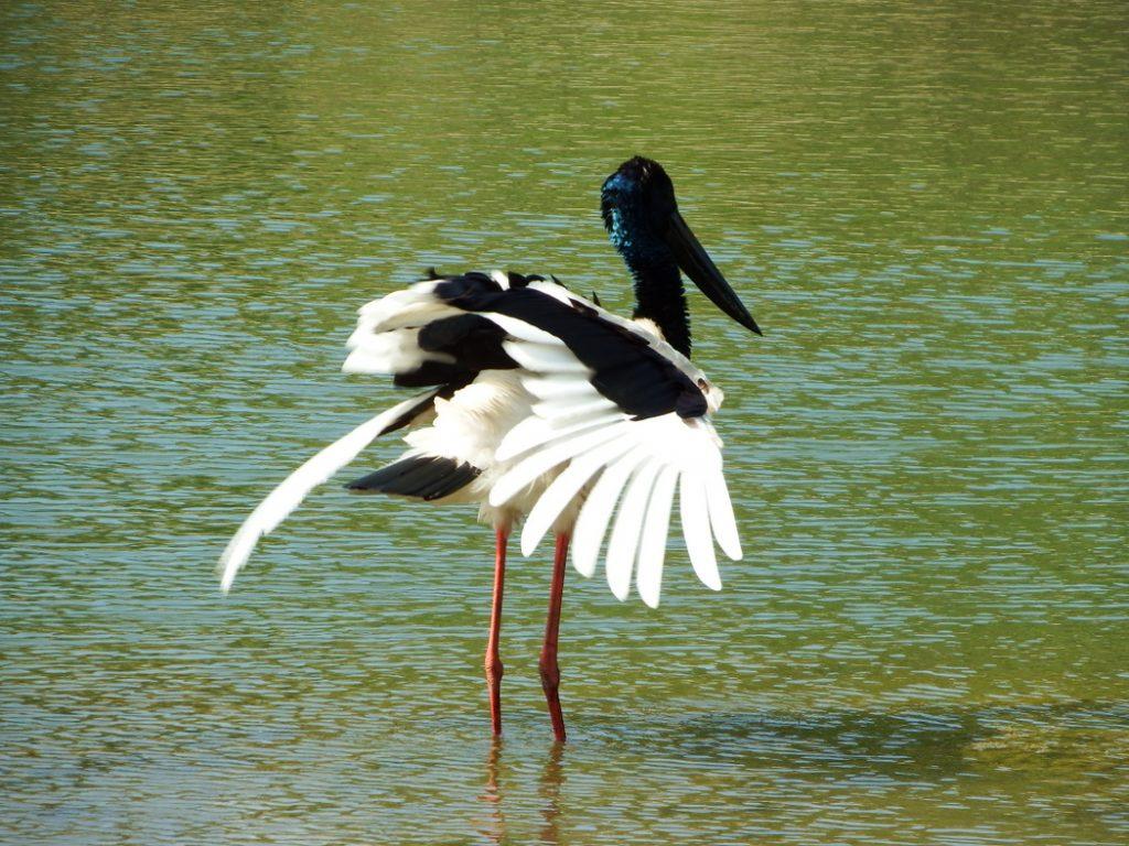 Australian Jabiru - Black-necked Stork